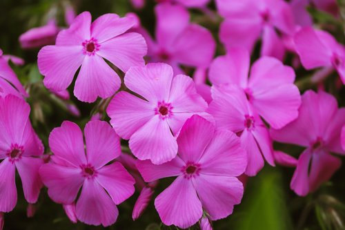phlox  flame flowers  violet