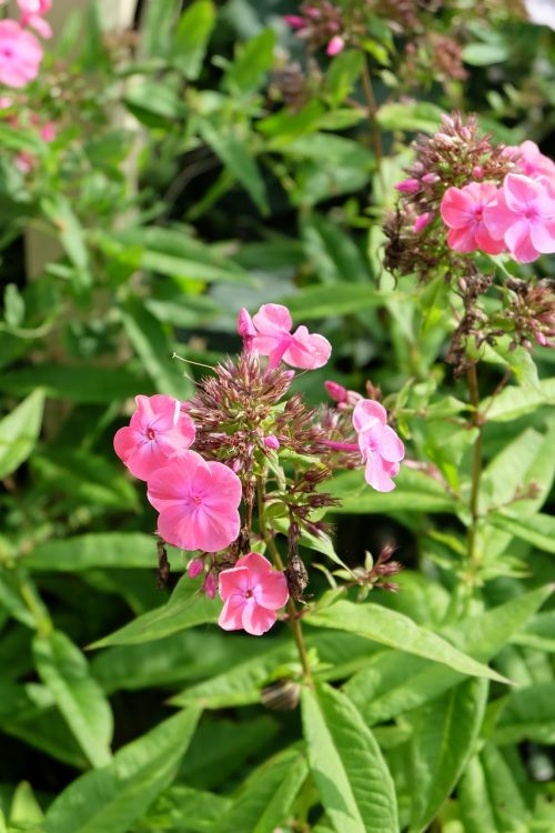 phlox pink farbenpracht