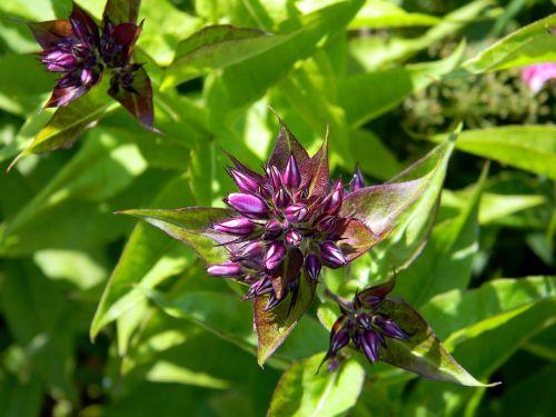 phlox floksa buds flower