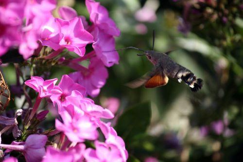 phlox sphinx hummingbird hummingbird moth