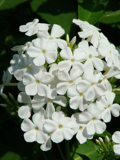 phlox flower flower garden