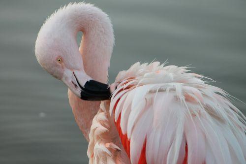 phoenicopterus chilensis the chilean flamingo south america