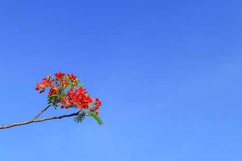 phoenix flower  poinciana