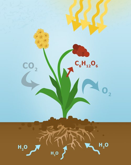photosynthesis  diagram of photosynthesis  plant