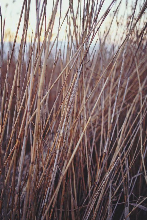 phragmites reed nature