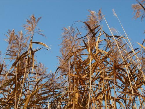 phragmites reed beds common