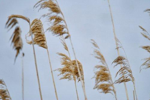 phragmites australis  reed  nature