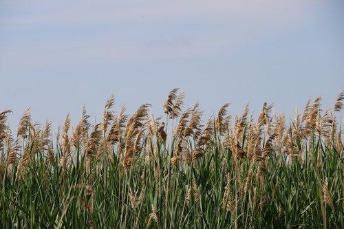 phragmites australis  lake  reed