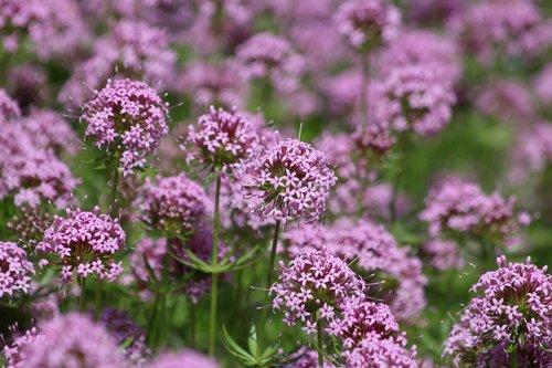 phuopsis  phuopsis stylosa  flowers