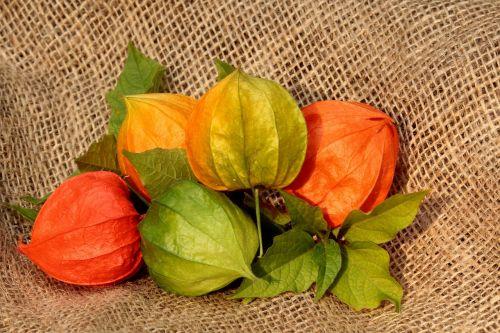 physalis flower plant