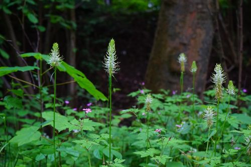 phyteuma spicatum flower blossom