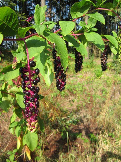 phytolacca pokeberry pokebush