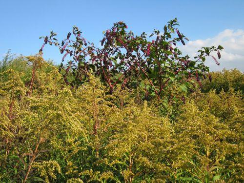 phytolacca americana pokeweed solidago canadensis