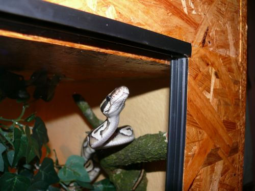 phyton snake mojave