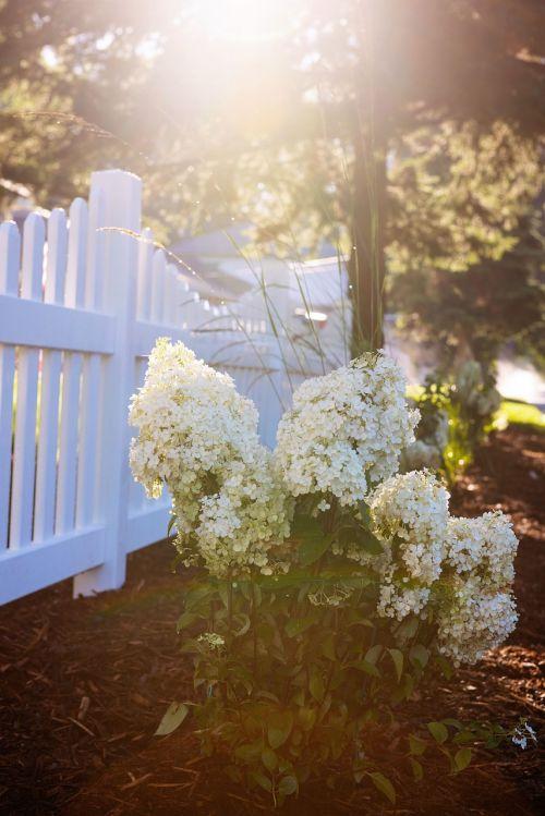 picket fence white flower