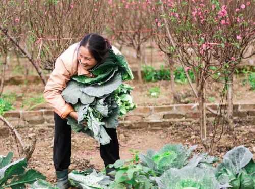 picking vegetables in early spring farmer peach tan