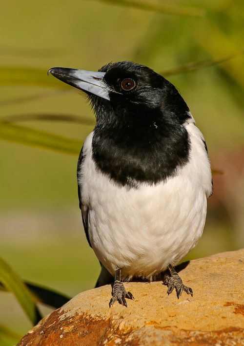 pied butcherbird butcherbird bird