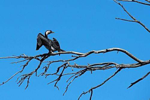 pied cormorant bird black