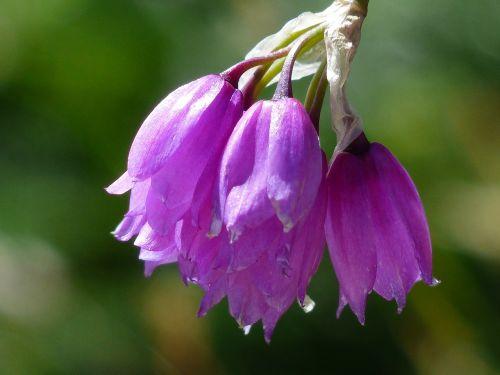 piedmont leek flower blossom