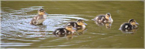Ducks 11