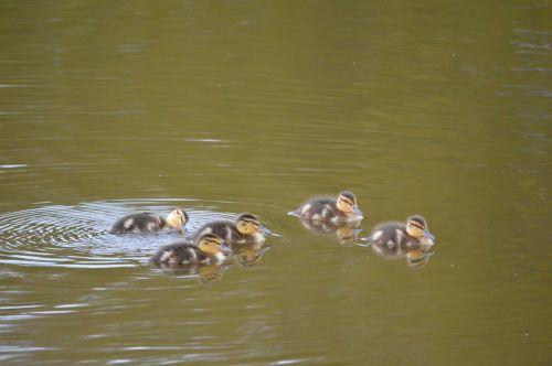Ducks In Group