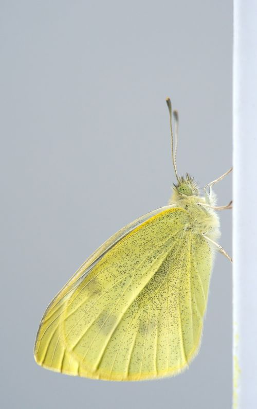 pieres rapae butterfly small cabbage white ling