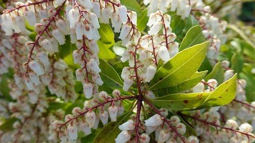 pieris japonica  rotsheide  white