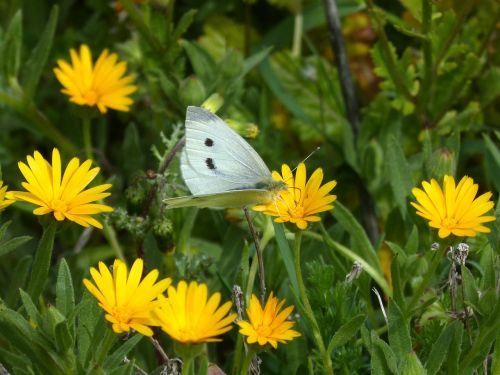 pieris rapae blanquita of cabbage butterfly