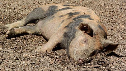 pig sleep peace