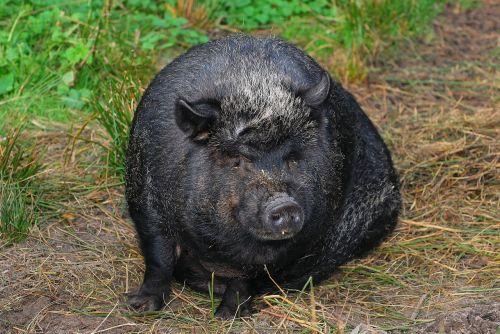 pig sit massive