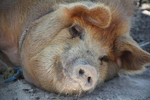 pig sleep happy pig