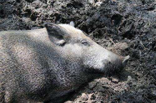 kiaulė,Šernas,miegoti,grižti,purvas,gyvūnai,veisimas