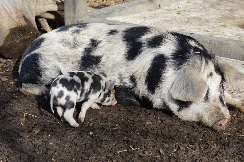 pig turopolje domestic pig