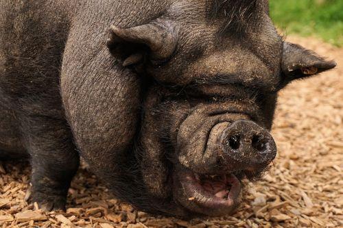 pig pot bellied pig livestock