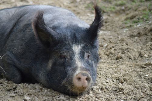 pig animals sow