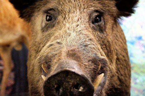 pig wild wild boar