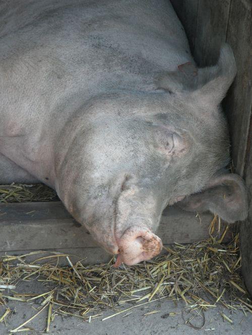 pig sow sleeping