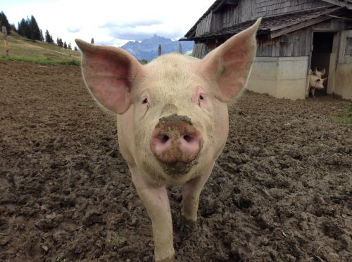pig agriculture nature