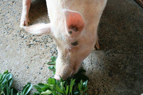 pig pink happy