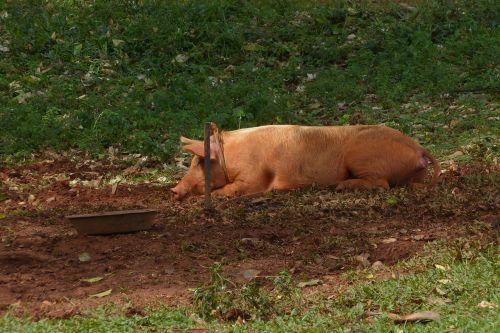 pig mud sow