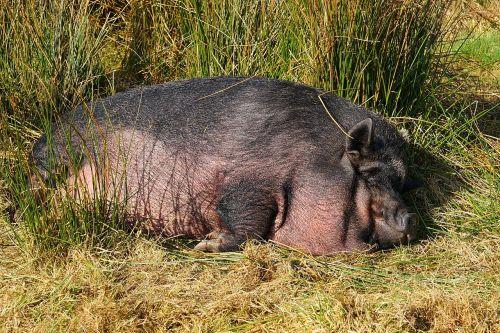 pig domestic pig livestock