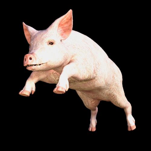 pig animal sow