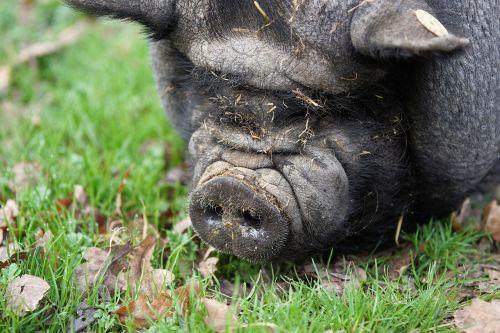 pig pot bellied pig farm