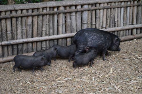 pig black pork