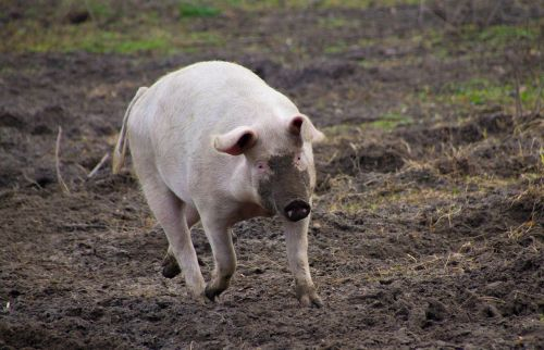pig farm dirty