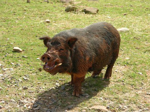 pig muddy farm