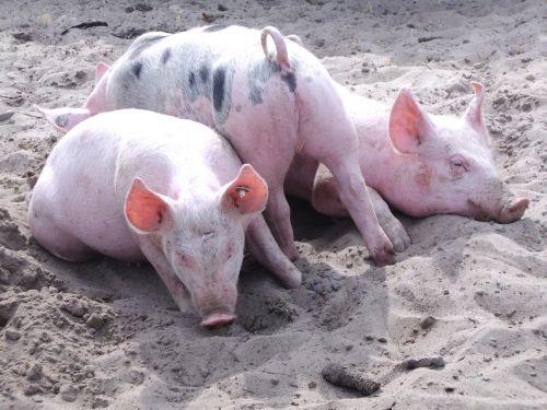 pig luck lucky pig