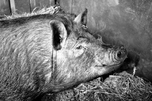 pig pet farmhouse