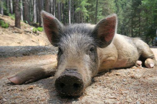 pig wild pig little pig