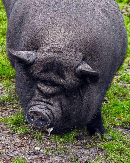 pig pot bellied pig fold pork